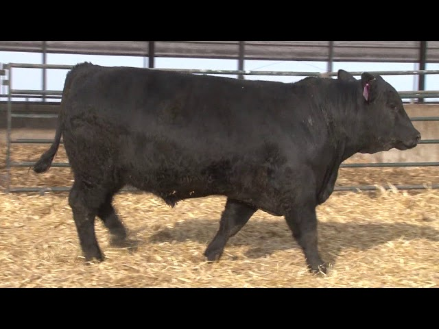 Schiefelbein Angus Farms Lot 74