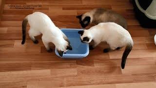 Как тайские котята Монте Кристо и Миледи робо-рыбку ловили и поймали! Тайские кошки   это чудо! Funn