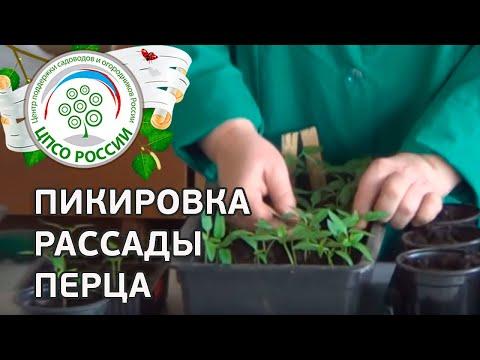 Как пикировать перец. Пикировка сеянцев перца сладкого. | выращивание | посадить | рассаду | рассада | сажать | огород | перца | перец | когда | видео