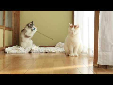 おもちゃを拾ってくる猫160726 Cat playing 2016#8