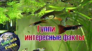 Рыбка гуппи и интересные факты о ней