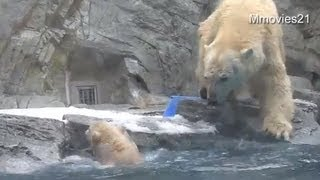 Mama Polar Bear Rescues Cub Who Can't Swim yet ~助けて!お母さん〜水に落ちたこぐま | Video