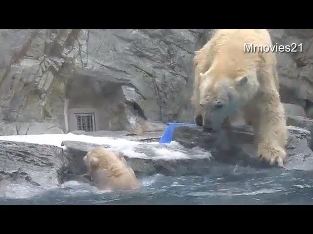 Help me! Polar Bear cub can't swim yet ~助けて!お母さん〜水に落ちたこぐま