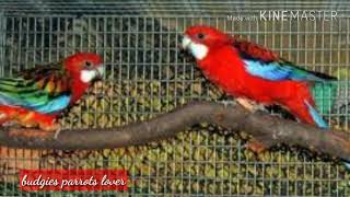 Rosella - information about rosella breeding and care in urdu hindi