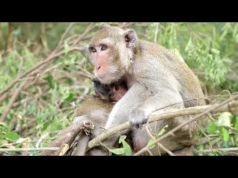 Natural Animals Wildlife Monkey And Baby Monkey In Cambodia