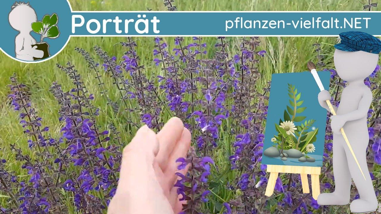 🖼️ Porträt 048 - Wiesensalbei (Salvia pratensis) - Wildpflanzen-Steckbrief (Essbar)