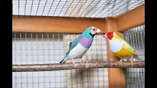 Gouldian finches new setup!