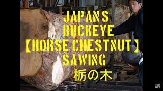 Japanese Horse chestnut Sawing!! nice