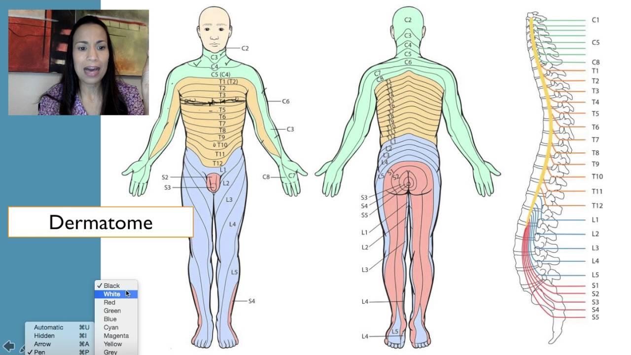 Le Dermatome Chart Related Keywords Le Dermatome Chart