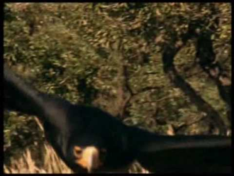 Walking with Caveman (trailer)