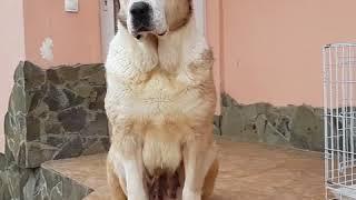 Пума и ее дочь Вафо 🤩 нужно купить щенка Алабая