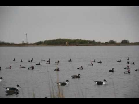 South Texas Duck Hunting Blue Bills Redheads Pintails