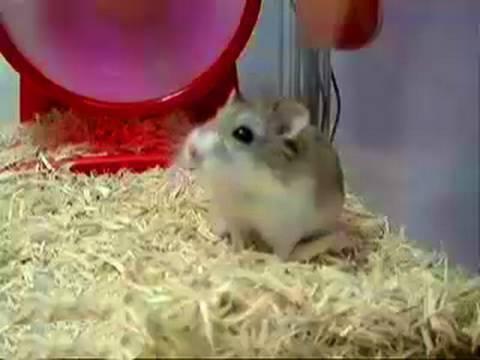 Dwarf Hamster    EXPLODING!!!