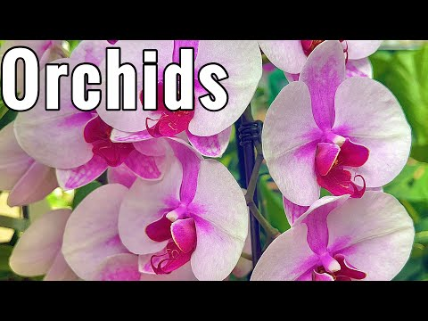 Grow Orchid Plants