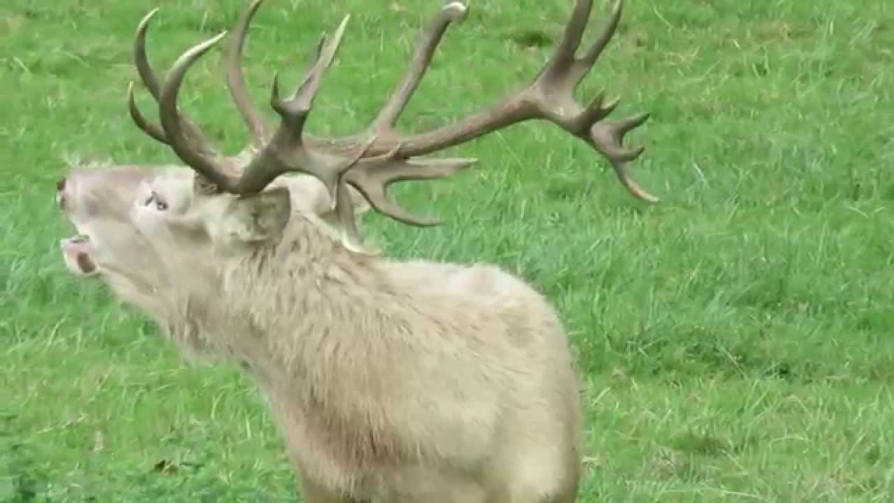 Accouplement d 39 un cerf blanc et d 39 une biche blanche youtube - Tete de cerf blanche ...