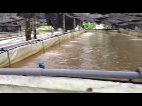 Tilapia Fish In The Plastic Beg Pond At Pahang Of Malaysia