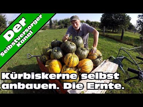 Kürbiskerne selbst anbauen  Die Ernte