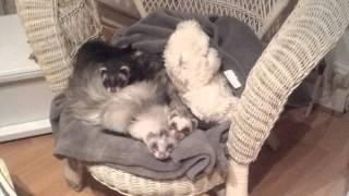 garde de ferret lovely 17 - guizmo vic et alto le 26-12-2013