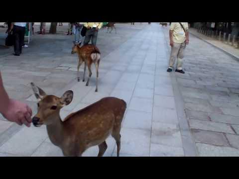 Japan - Travel Guide - I Sacri Cervi di Nara