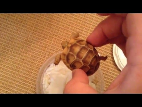 Golden Greek Tortoise unboxing deer fern farms