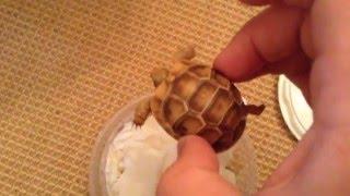 Repeat youtube video Golden Greek Tortoise unboxing deer fern farms