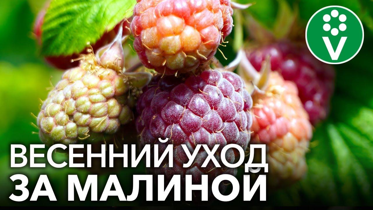 ПОЗАБОТЬТЕСЬ О МАЛИНЕ ПРЯМО СЕЙЧАС и соберете урожай вкуснейших ягод