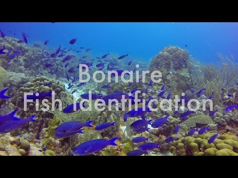 Bonaire Fish Identification