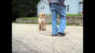 Dog Training  - Golden Retriever - Cincinnati Dog School, Obedience Training