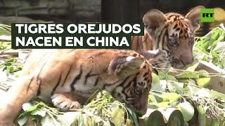 Raros cachorros de tigre gemelos nacen en China