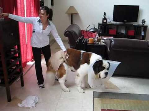 Giant Breed Male Dog Diapers