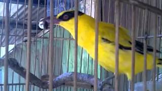 burung kepodang putri