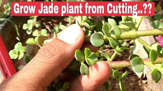 How to grow jade plant from cutting, jade plant propagation from Cutting, jade plant