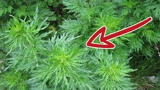 Erstaunliche Wirkung: Diese Pflanze zerstört 98% der Krebszellen in nur 16 Stunden