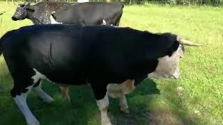 Как правильно покрыть корову.