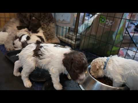Dinner time for 4 week old Lagotto Pupies