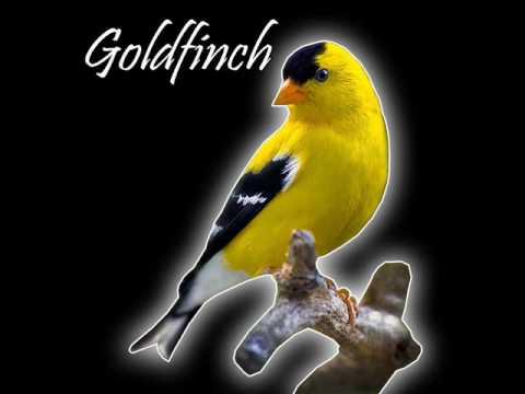 Download Lagu Suara Burung Goldfich ( Materan Pleci & Kenari )