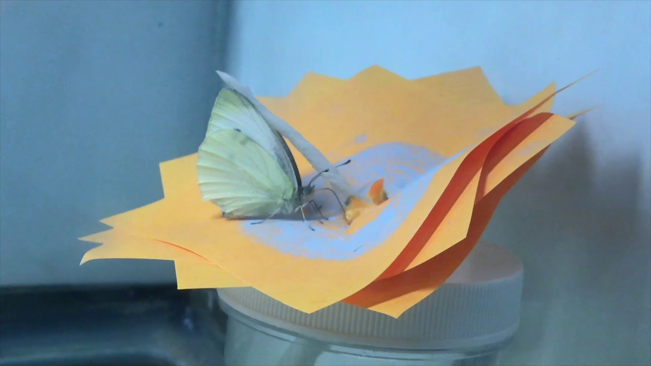 The Effect of UV Light Patterns on the Cabbage White Butterfly Feeding Patterns.