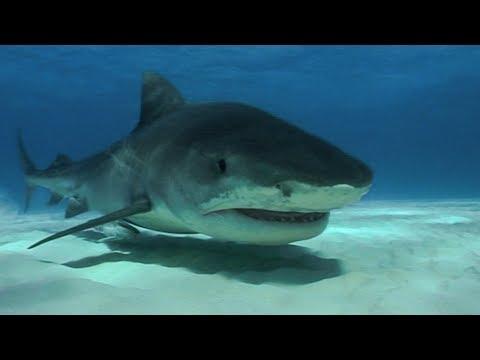 Tiger Sharks Tear Apart Bait | Deadly 60 | Earth Unplugged