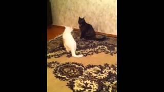 Бои без правил у кошек)