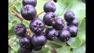 Chokeberries Fruit Health Benefits