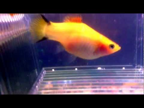 Pregnant Platy Ready To Give Birth