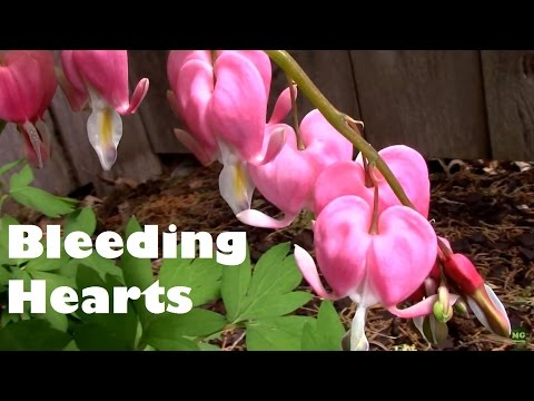 Bleeding Hearts From Sprouting to When They Die Back.