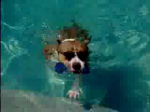 Rocket our Pitbull stepson swiming with Sunglasses