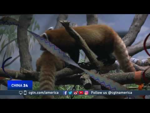 Zoo in Colorado works to save red pandas from extinction