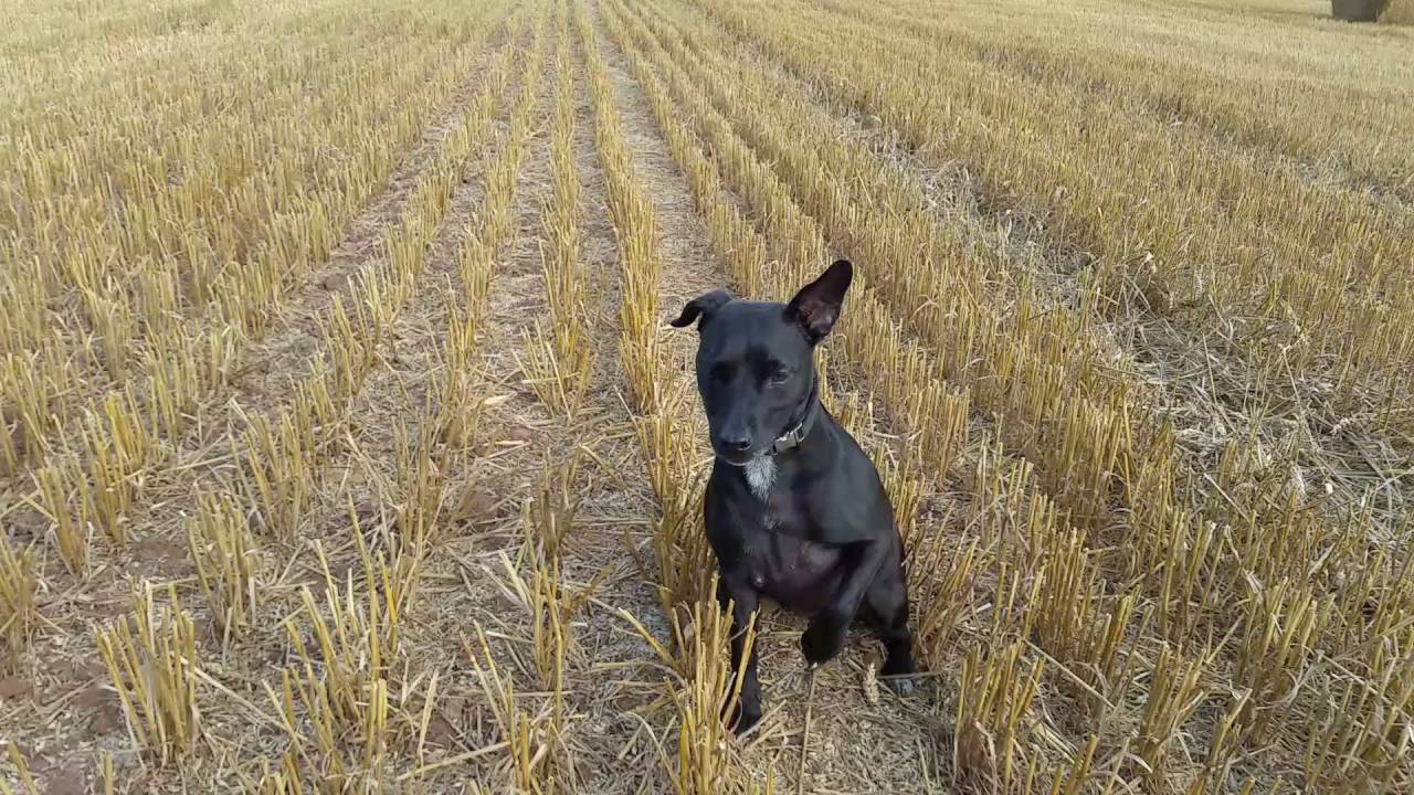 Patterdale Terrier Training 1 YouTube
