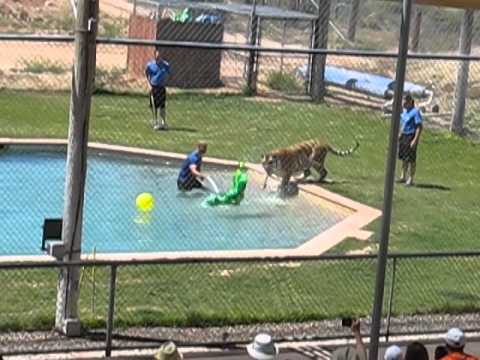 TIGER SPLASH: OUT OF AFRICA, CAMP VERDE, AZ