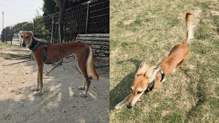 WELL AS YOU CAN SEE, SALUKI DOGS ARE VERY ACTIVE