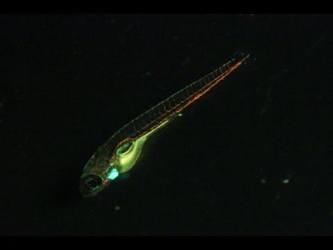 Green-fluorescent Transgenic Zebrafish Heart Beating