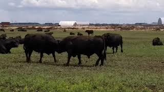 Два быка дерутся в поле