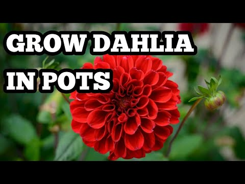 How To Grow Dahlias In Pots Youtube